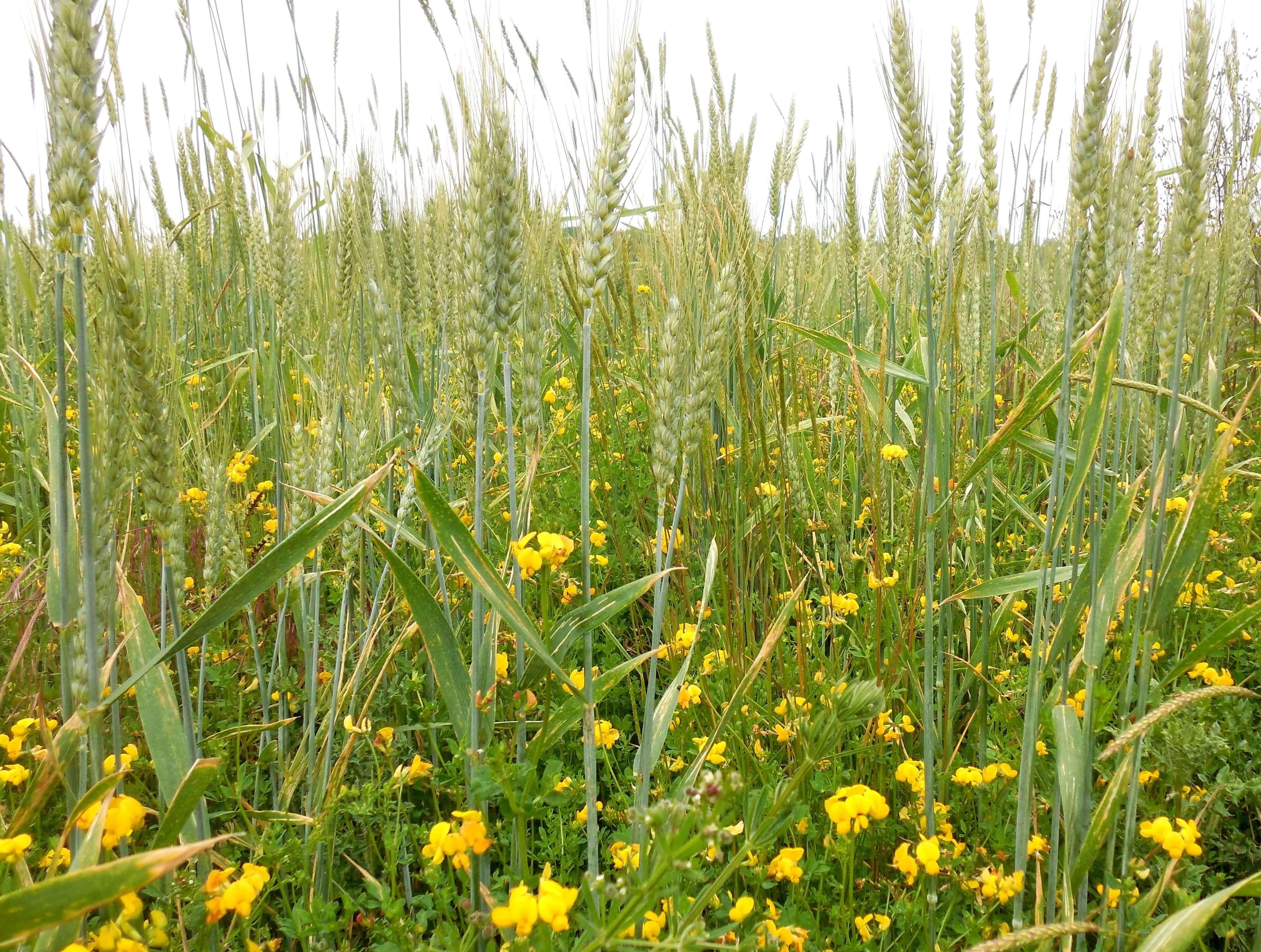 blé lotier