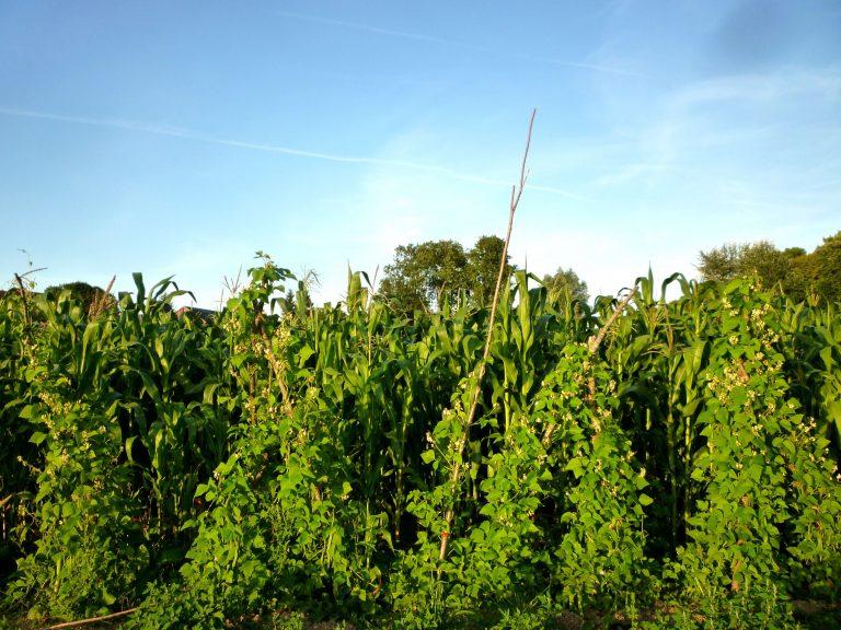 variétés-haricots (1)